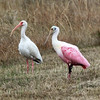 A White Ibis and a Roseatte Spoonbill