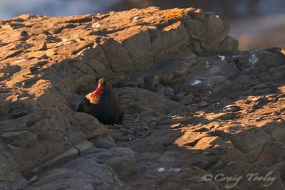 Oystercatcher on nest
