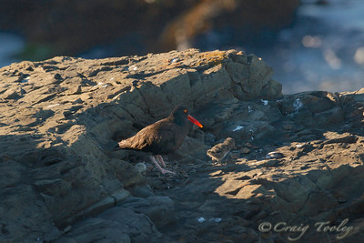Oystercatcher on nest with baby and a egg