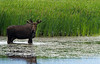 Young Alaska Yukon bull moose enjoying summer