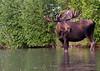 Alaska Yukon Bull Moose