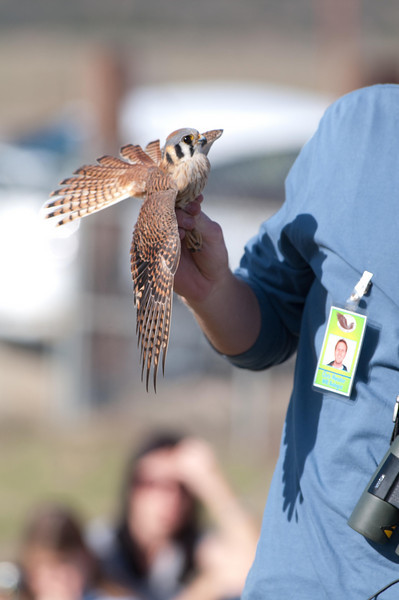 Female American Kestrel @ Wildlife Research Institute ~ Ramona, CA