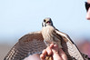 American Kestrels used to be called Sparrow Hawks because of their size.