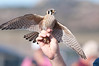 Wings spread ... American Kestrel female.  Females have barred pattern on breast feathers.  Males have spots.