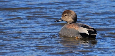 Male Gadwall duck