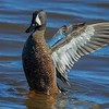 Blue-winged Teal in stretch