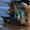 Blue -winged Teal grooming