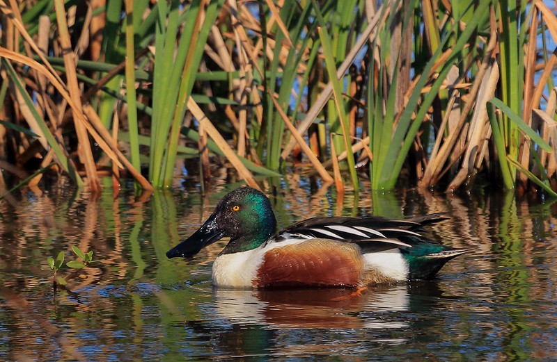 Northern Shoveler male passes by reeds