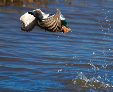 Shoveler just after takeoff.