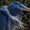 Close up of a Great Blue Heron near the road on leg 2 (west side) of Shoveler Pond