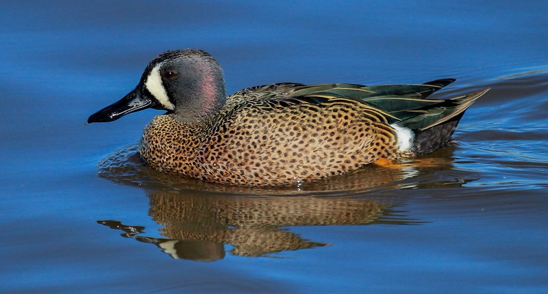 Blue-winged Teal in a slow pass under our observation position.