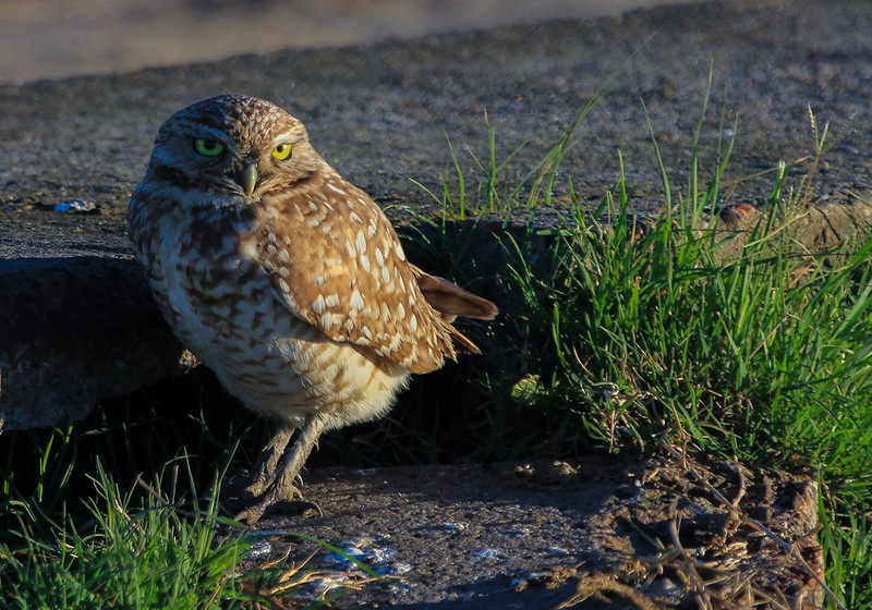 Burrowing Owl, early AM