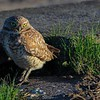 Burrowing Owl, early AM