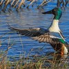 extended wings on Shoveler