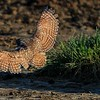 Burrowing Owl landing