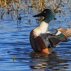 Shoveler wing stretch