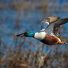 3rd flight shot, Northern Shoveler