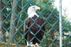 Eagle at Camp Hashawa in Westminster, MD