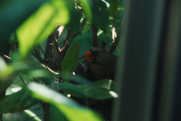 Mother Cardinal sitting on nest
