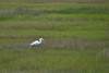 Snowy Egret<br /> A small, active white heron, the Snowy Egret is found in small ponds as well as along the ocean shore. Its black legs and yellow feet quickly identify it.