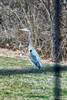 Blue Herron that checks out my pond
