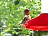 Ruby Throated Hummingbird in my yard.