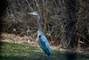 Blue Herron that checks out my pond.