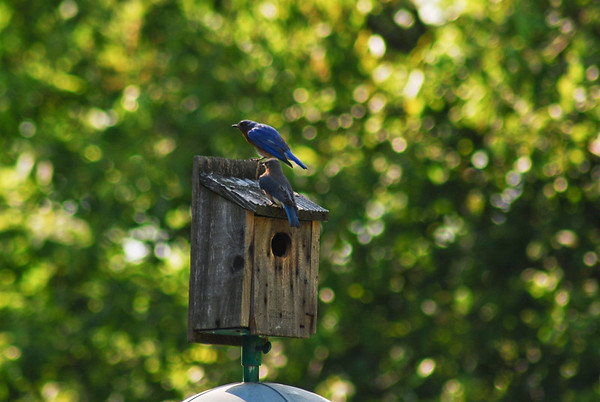 Eastern Blue Birds in my yard.  Male & female.