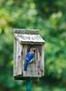 Bluebird 2010