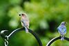 Bluebirds Male & Female 2010
