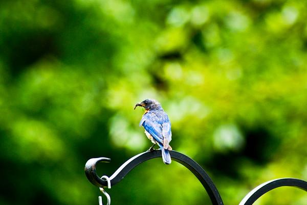 Male Bluebird 2010