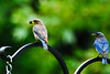 Male & Female Bluebirds 2010
