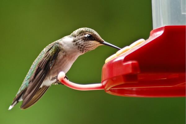 Hummingbird in my yard.