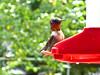 Ruby Throated Hummingbird in my yard.