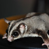 SUGAR GLIDER.  Her name is Ponyo