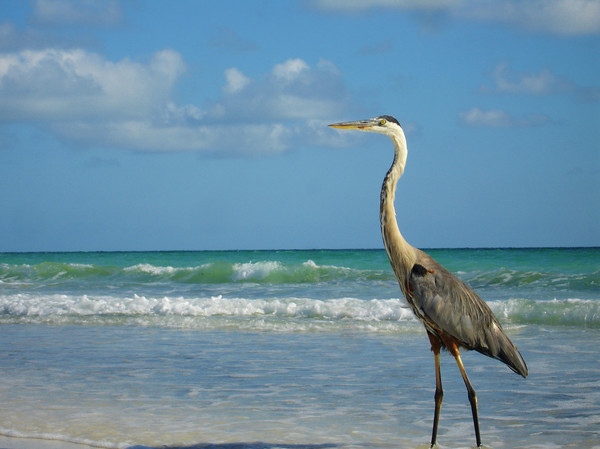 Great Blue Heron, Longboat Key beach, Sarasota, Florida