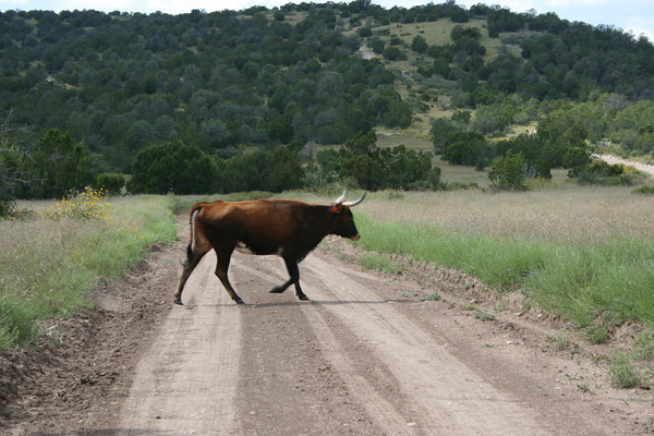 """Why did the cow cross the road?"", LIncoln National Forest, NM"