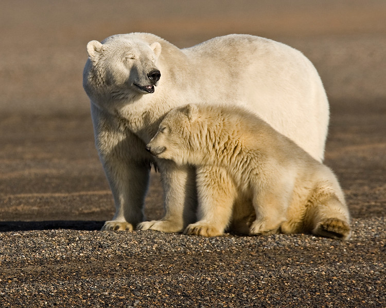 This photograph of a Polar Bear sow and cub was captured in the Arctic National Wildlife Refuge (ANWR), Alaska (9/10).     This photograph is protected by the U.S. Copyright Laws and shall not to be downloaded or reproduced by any means without the formal written permission of Ken Conger Photography.