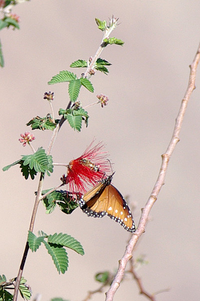 Queen Butterfly & Honey Bee enjoying Fairy Duster blossom.  Two's company...