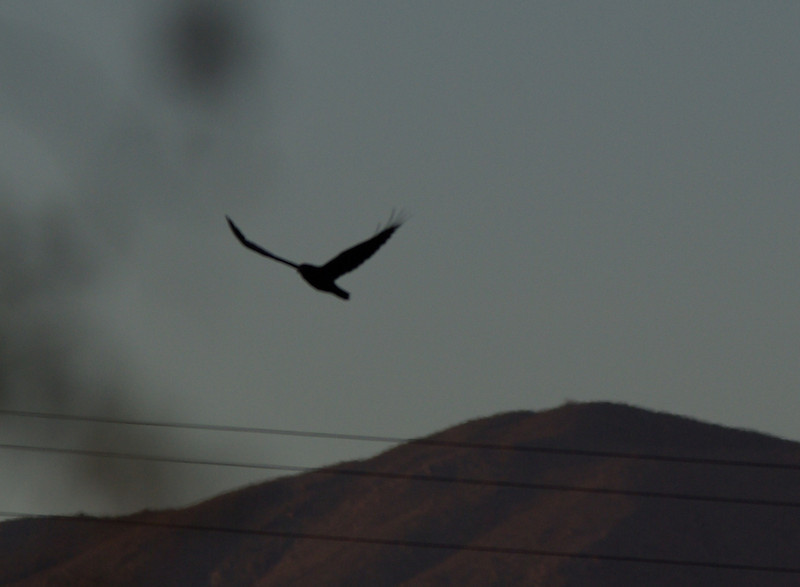 Early morning over Anza Borrego... soaring Common Raven.  American Crows are NOT desert denizens apparently.