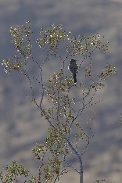 Cactus Wren... Anza-Borrego early morning.  The Cactus Wrens nest in Cholla and Yuccas.