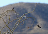 Pair of Cactus Wrens perched on desert shrub.  Nice tail view with barring on right bird.