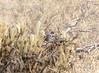 California Quail nicely camouflaged in desert scrub.
