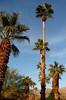 Palm Oasis in Anza-Borrego....