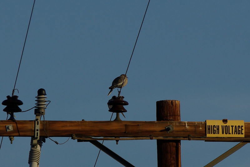 White-winged Dove... high wire act.  White-winged Doves are a resident species in Anza Borrego.