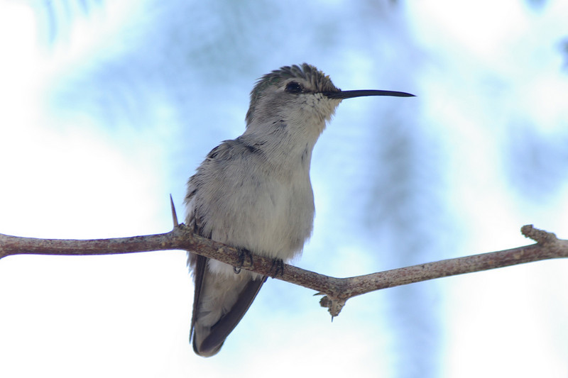 Costa's Hummingbird female in mesquite tree.