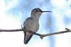 Costa's Hummingbird female in mesquite tree.