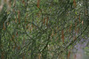 Can you find the bird in this Mesquite tree ?  Typical view of Verdin in the brush!