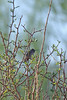 Immature male Costa's Hummingbird hiding in the Mesquite tree.