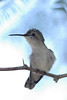 Alert Costa's Hummingbird, female, hears camera clicks.  Here's looking at you.  Definite decurved bill in view.